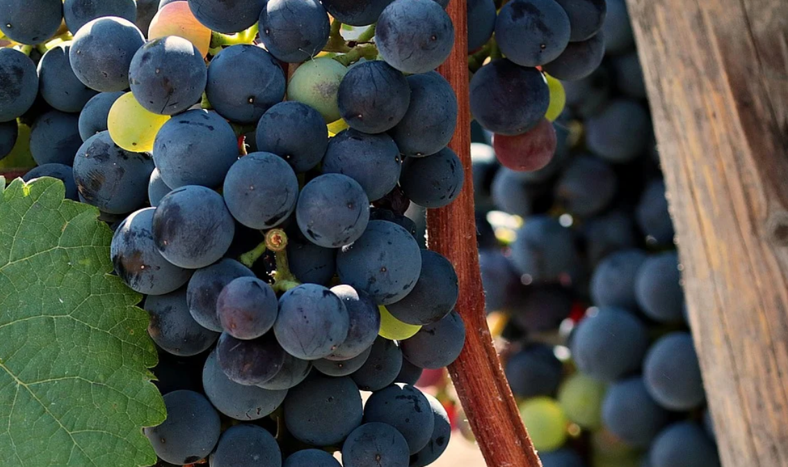 Víno Grenache stojí za vyzkoušení